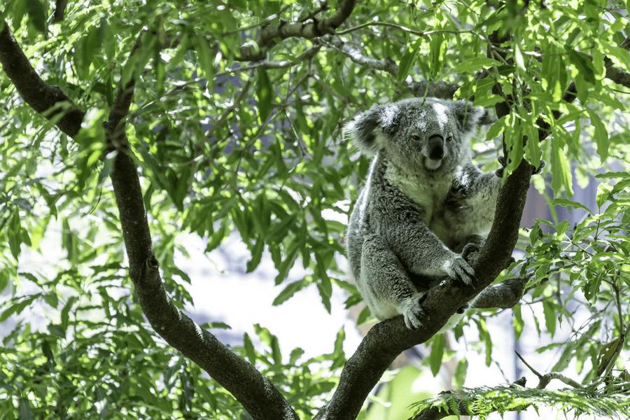 Brisbane, Australia Koala