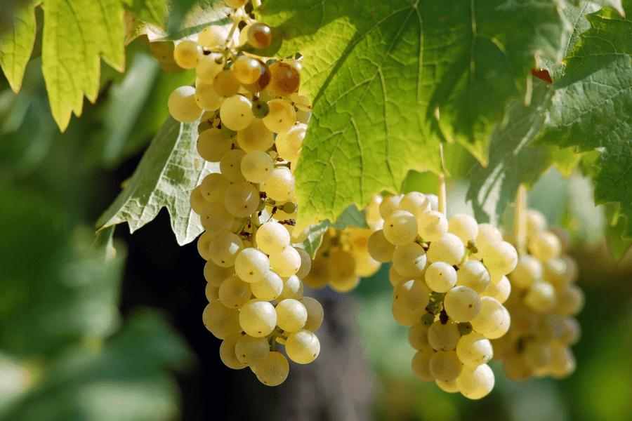 wine vineyard grapes 2 - 10 Romantic Wine Getaways Perfect For A Weekend Away