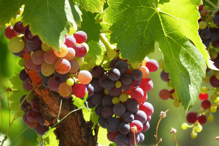 wine vineyard grapes 1 - 10 Romantic Wine Getaways Perfect For A Weekend Away