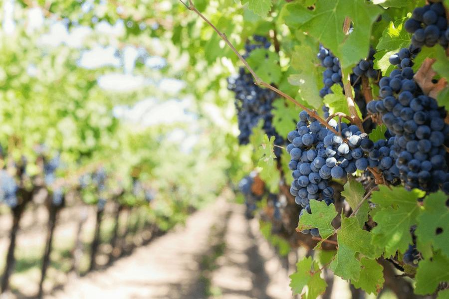 wine vineyard grapes - 10 Romantic Wine Getaways Perfect For A Weekend Away